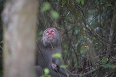 Formosan макака в горах города Kaohsiung, также вызванного Тайваня, cyclopis Macaca Стоковые Изображения RF