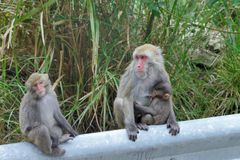 formosan утес macaque Стоковое Изображение