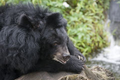 A Formosan Bear. Formosan Black Bear, resting by some water. This bear is found in Taiwan and is a subspecies of the Asiatic Black Bear. Also known as the white stock image