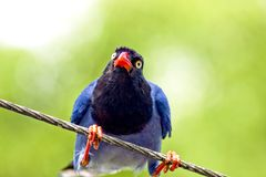Formosan Blue Magpie Stock Photography