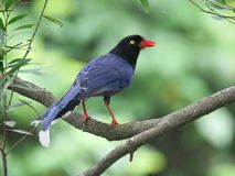 Formosan Blue Magpie Royalty Free Stock Images