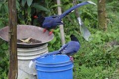 Formosan Blue Magpie o Stock Image