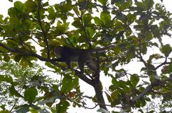 Formosan cyclopis Macaca βράχου macaque στο εθνικό ψυχαγωγικό δάσος Zhiben, Ταϊβάν ν στοκ εικόνες