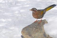 Formosan het lachen lijster, wilde vogel. Stock Foto