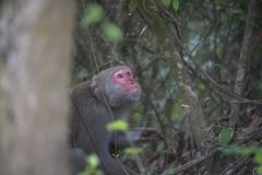Formosan macaque in bergen van Kaohsiung-stad, Taiwan, riep Macaca-ook cyclopis Royalty-vrije Stock Afbeeldingen