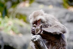 Formosan macaque a monkey Stock Photos