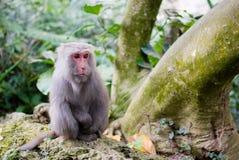 formosan macaquerock Fotografering för Bildbyråer