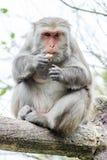 Formosan macaques äter jordnöten Arkivfoton