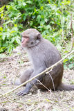 Formosan macaques back to us(taiwan monkey) Royalty Free Stock Images