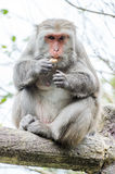 Formosan macaques are eating peanut Stock Photos