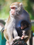 Formosan macaques Stock Images