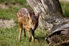 Formosan Reeves's Muntjac. Is an endemic muntjac species of Taiwan. It takes its name from John Reeves, who was appointed Assistant Inspector of Tea for the royalty free stock photography