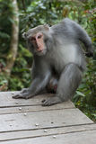 Formosan Rock Macaque Stock Photo