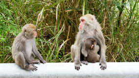 Formosan Rock Macaque Royalty Free Stock Photos