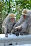 Formosan Rock Macaque. Royalty Free Stock Images