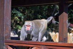 Formosan rock macaque. royalty free stock image