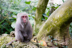 Formosan Rots Macaque stock afbeelding