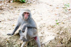 Formosan Rots Macaque stock foto's
