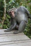 Formosan Rots Macaque Stock Foto