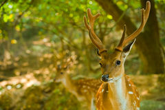 Formosan Sika Deer Forest H royalty free stock image