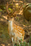 Formosan Sika Deer Forest V Stock Images
