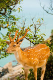Formosan Sika Deer Ocean Royalty Free Stock Photography