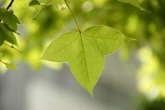 Formosan Sweet Gum leaf. Sweet gum is one of Taiwans native species Stock Images