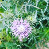 Cirsium japonicum stock photography
