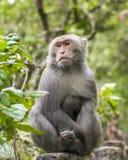 Formosan vagga macaquen Arkivbilder