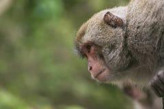 Formosan vagga macaquen Arkivfoton