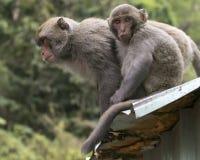 Formosan vagga Macaques Royaltyfria Bilder