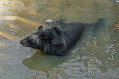 Formosan zwarte draagt of Ursus-thibetanusformosanus het zwemmen Stock Afbeeldingen