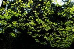 Formosana Hance de formosana-Liquidambar de Liquidambar Images libres de droits