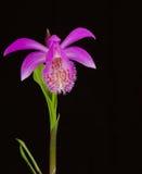 Formosana Pleione Стоковые Фото