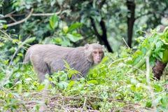 Formosische Makaken untersucht den Abstand (Taiwan-Affe) Lizenzfreies Stockfoto