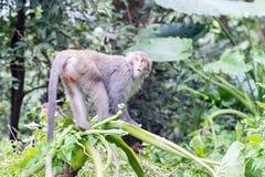 Formosische Makaken untersucht den Abstand (Taiwan-Affe) Stockfotografie