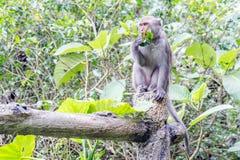 Formosische Makaken untersucht den Abstand (Taiwan-Affe) Stockbilder