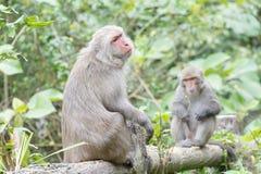 Formosische Makaken untersucht den Abstand (Taiwan-Affe) Stockfoto