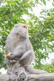 Formosische Makaken untersucht den Abstand (Taiwan-Affe) Lizenzfreie Stockbilder