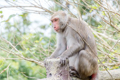 Formosische Makaken untersucht den Abstand (Taiwan-Affe) Lizenzfreies Stockbild