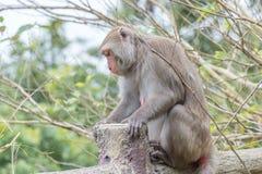 Formosische Makaken untersucht den Abstand (Taiwan-Affe) Stockfotos