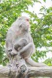 Formosische Makaken untersucht den Abstand (Taiwan-Affe) Stockbild
