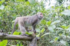 Formosische Makaken untersucht den Abstand (Taiwan-Affe) Lizenzfreie Stockfotos