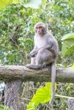 Formosische Makaken untersucht den Abstand (Taiwan-Affe) Lizenzfreie Stockfotografie