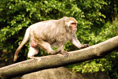 Formosischer Macaque (Macaca cyclopis) lizenzfreie stockbilder