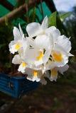 Formosum Dendrobium, орхидные, в саде, Ranong Таиланд Стоковые Изображения RF