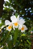 Formosum Dendrobium, орхидные, к югу от Таиланда Стоковое Фото