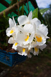 Formosum Dendrobium, Orchidaceae, στον κήπο, Ranong Ταϊλάνδη Στοκ εικόνες με δικαίωμα ελεύθερης χρήσης