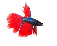 Formulário completo de combate da parte superior do corpo dos peixes do betta vermelho tailandês Siamese isolado Fotografia de Stock Royalty Free
