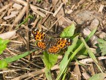 Formulário de Sping do close-up da borboleta do mapa ou do levana de Araschnia na grama, foco seletivo, DOF raso imagens de stock royalty free